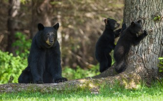 Mother and cubs at Taku Lodge