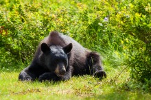 Black Bear at Taku Lodge