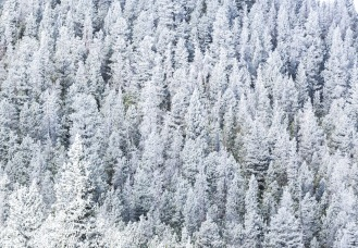 Snow dusted trees