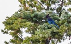 A blue bird in a green tree