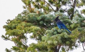 A blue bird in a green tree