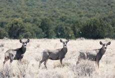 3 deer in a row