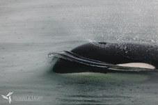 S&L Alaska - Juneau Whalewatching_MG_6063 (Priime Hampstead)